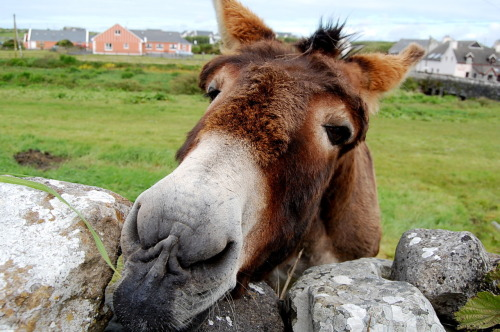 Friendly donkey in Doolin flickr|tumblr