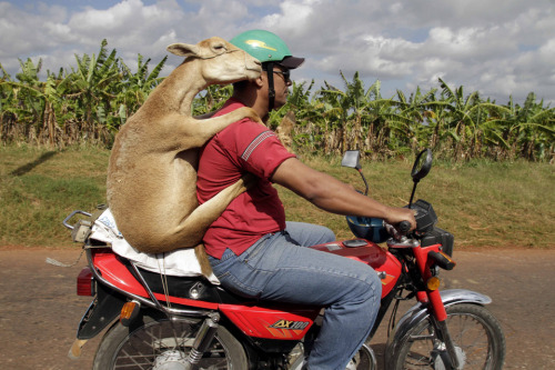 inothernews:  (Photo of a man carrying a lamb on a motorcycle in Havana Thursday by Franklin Reyes / AP via the Wall St. Journal)