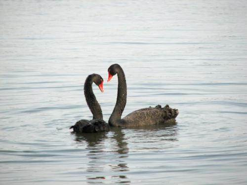daleksontumblr:  An estimated one-quarter of all black swans pairings are homosexual and they steal nests, or form temporary threesomes with females to obtain eggs, driving away the female after she lays the eggs. More of their cygnets survive to adulthood than those of different-sex pairs, possibly due to their superior ability to defend large portions of land. The same reasoning has been applied to male flamingo pairs raising chicks.