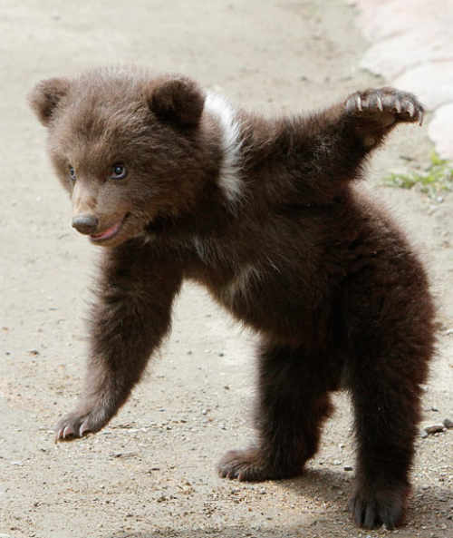 kari-shma:  A three-month old bear cub plays outside its cage at the zoo in Stavropol, Russia  This picture makes it very clear why we have anthropomorphized these deadly creatures. I mean, come on — this character is one Photoshop filter away from a Richard Scarry drawing! Amazing.