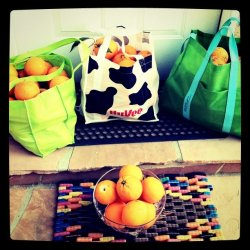 Picked lots o oranges this morning! (Taken with instagram)