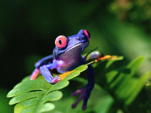 rod42:  Rare type of blue frog