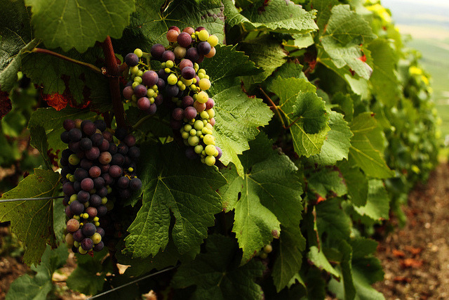 bonparisien:  Champagne grapes (variety unknown) (by troye)  Sweet! Embryonic wine.