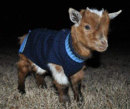 Baby goat in a tiny sweater! I am dead from cute.