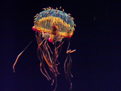 Rainbow jellyfish.