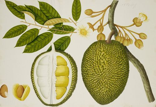stilllifequickheart:  Unknown (Chinese) Durian Early 19th century