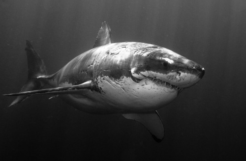 Awesome B&W photo of a Great White Shark (original source unknown)