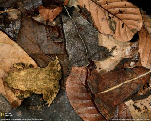 LEAF LITTER TOADS -(Bufo cf. margaritifer)  ©Christian Ziegler Three leaf-litter toads collected within yards of each other almost  disappear on a forest floor in Panama. Staying alive in the tropics,  where nearly everything is food for something else, often calls for such  trickery to fool a predator's eye. Other camoflage photos that you might enjoy: Leopard in Leaf Litter Moth nearly invisible on lichen covered tree