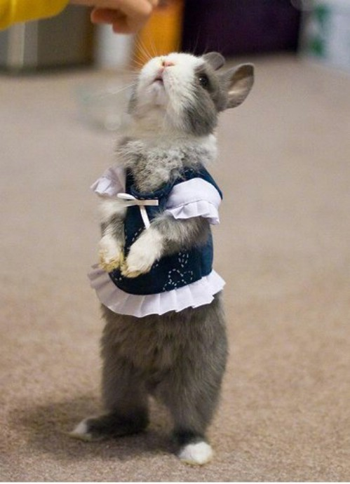 I don't condone putting clothes on your rabbit, but I couldn't resist posting this