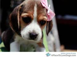 Beagle puppy Pepsi looking adorable, yet very serious with her pink bow Original Article