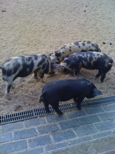 gourmetgorman:  Some pigs going about their business that I saw on a gig. (They weren't doing the gig, they were in the next field…)