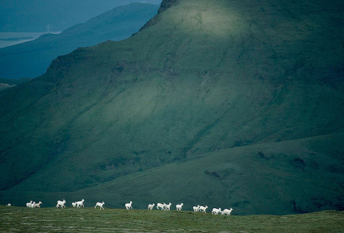 Dall Sheep, Kluane National Park - Canada