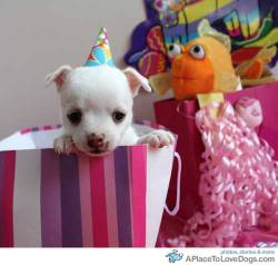 Mookie the Chihuahua helps celebrate Pintas birthday Original Article