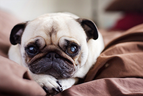 hellyeahpugs:  But…But…But…I don't wanna leave!!