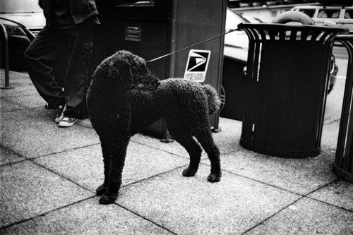 "Downtown Dog. Leica M2 + 40mm M-Rokkor f2, Tri-X 400 + HC-110 ""B"""