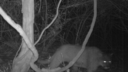 Mountain lions in STL!!?!!?! I hope there aren't any tigers or bears around!