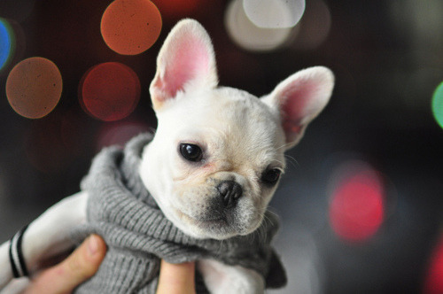 zoearcher:  Cutest thing ever? French bulldog puppy in a sweater.