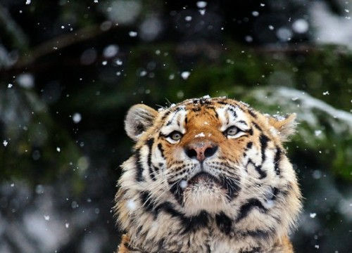 Coto the tiger, watching snowflakes, Zürich Zoo