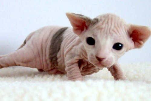 sparklywang:  Can I just please have a hairless cat. ~