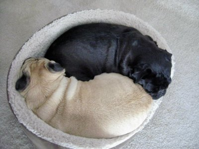 cutepugpics:  The super advanced, double pug snuggle! (via sodeceroulas)  Looks like I found a new blog to follow….