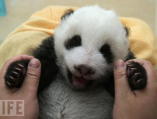 fuckyeahgiantpanda:  A panda cub smiles for the camera. © LIFE.  AWWW SO ADORABLE :D