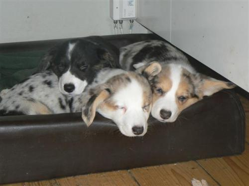 in case you needed proof that yes, three corgis are better than two corgis.  conapitation. so so adorable.