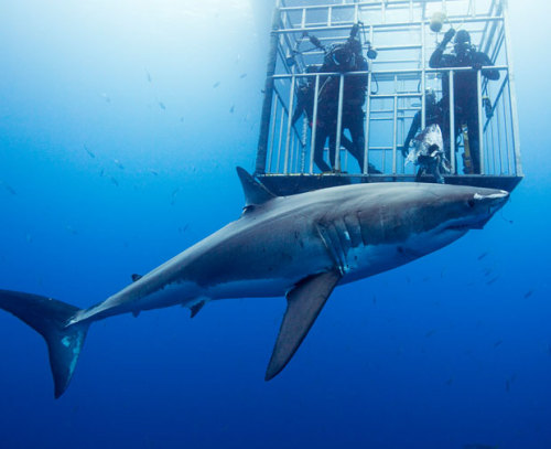 Great White Shark and cage divers, Guadalupe Island, Mexico (by  AMOS NACHOUM / BARCROFT USA)