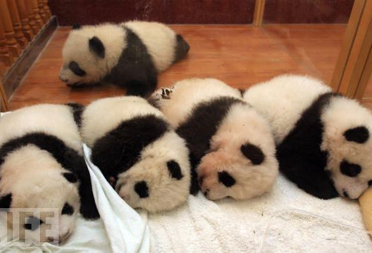 fuckyeahgiantpanda:  Giant panda cubs sleeping in a crib. © LIFE.  i feel like hugging them one by one XDDDD they look so fluffyyyy