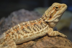 fuckyeahlizards:  My baby Bearded Dragon, Sebastian. Submitted by: ustasbaggs