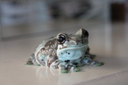 crotalinae:  I'm Innocent by ~equinejumper2 on deviantART Amazon Milk Frog