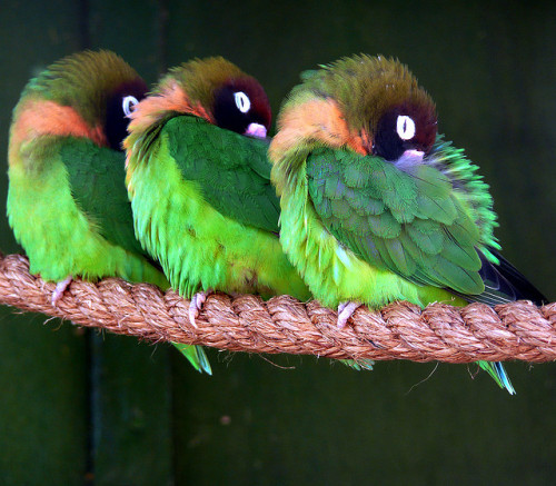 birdsbirds:  Love Love Lovebirds