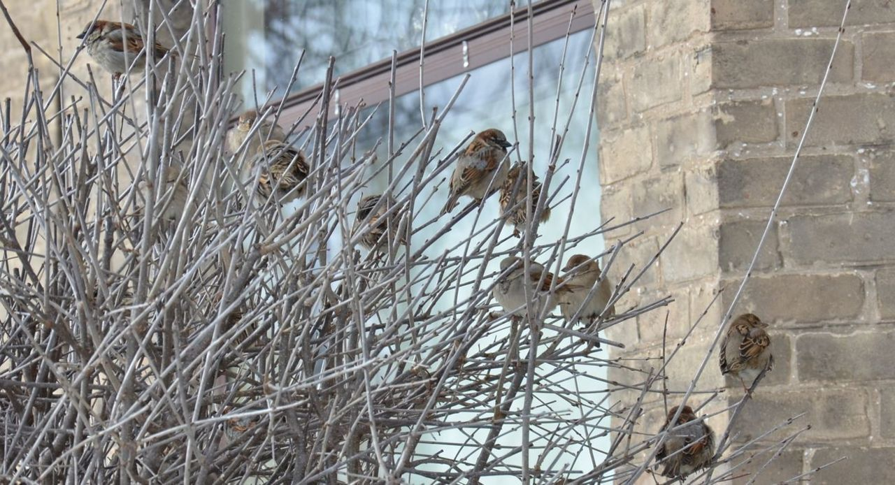 thelovingpath:  lots of snow sparrows
