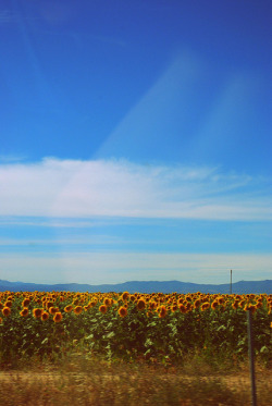 Sunflower fields along the journey from Barcelona to Madrid submitted by: http://sweetheartbitterheart-.tumblr.com, thanks!