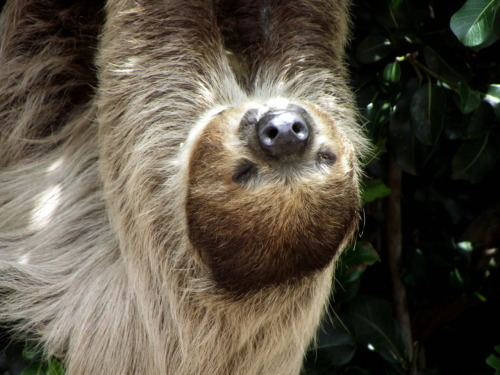 theanimalblog:  Sloth at the San Diego Zoo | Submitted by kaiyamalou     WANT! :D