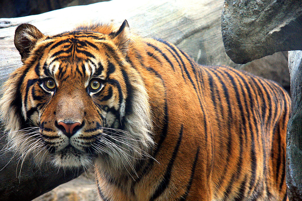 The Sumatran tiger - Panthera tigris sumatrae Found only on the Indonesian island of Sumatra. Listed as critically endangered by the IUCN. Smallest of all extant tiger subspecies. Have webbed toes, making them very fast swimmers Deforestation as a result of palm oil production is wreaking havoc on Sumatran tiger populations, as is illegal poaching and human/tiger conflict.  Photo by: StuffEyeSee View more Sumatran tigers.