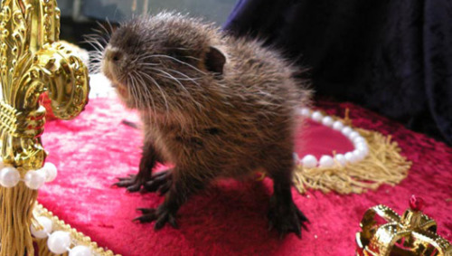Could a nutria replace Punxsutawney Phil?