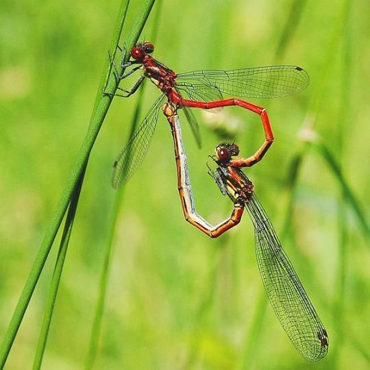 "johnnyplagues:  Damselflies, apparently they always do this when they make ""love"""