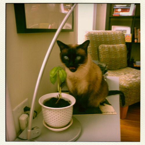 Ollie has taken a sudden and deep interest in the basil plant that I've had in my apartment since August.  And that's what's new with me.