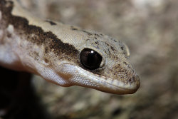 fuckyeahherptiles:  By JeremyRingma:  Diplodactylus vittatus  Wood gecko/Eastern Stone gecko.  I really want some now @.@