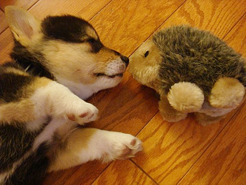 weeeenhi:  hellocute:  Puppy and hedgehog  Oh my dear lawd.