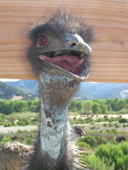 elcomfortador:  Terrifying dinosaur-like ostrich, the sequel.
