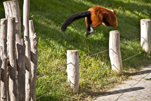 "Run, Lemur run"", (by fannynetes)"