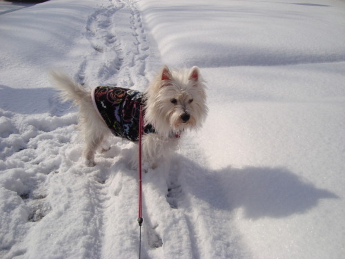 "Snow pup on a walk… ""Hurry up Mom"" she seems to be saying…"