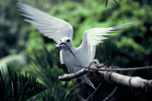 White or Fairy Tern with fish & squid, Lord Howe Island