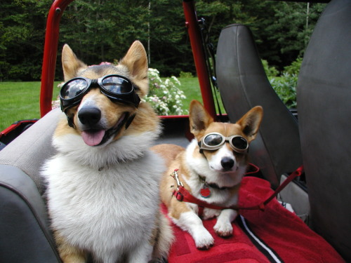 corgis-r-stumptastic:  Owen and Angus ready to roll  Dear Corgis-R-Stumptastic, I admire your good taste in tumblr names as well as in fashionable doggles for your pemmies. If I ever saw this in real life at a red light, I would probably die.  -CA PS - they suuuuure are