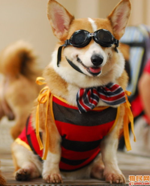 good morning. what this corgi is wearing is how i will be feeling today. this is also your daily 'wtf' moment. enjoy!