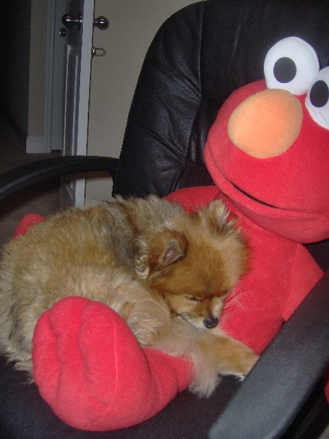 ohyeahadorablepuppies:  My pomeranian loves sleeping with her stuffed animals. Submitted by lacocomonkey