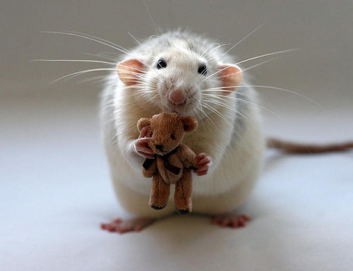 Awww.  What a gorgeous rattie.  Dumbos just look so laid-back and easy-going.  I want to hug him and his teddy and it would be incredibly recursive.