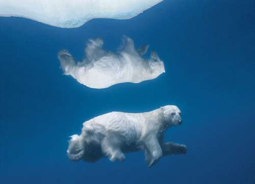 ecocides:  Polar bear swims underwater in Lancaster Sound in the Nunavut territory of Canada, its image mirrored in the icy water | image by Paul Nicklen