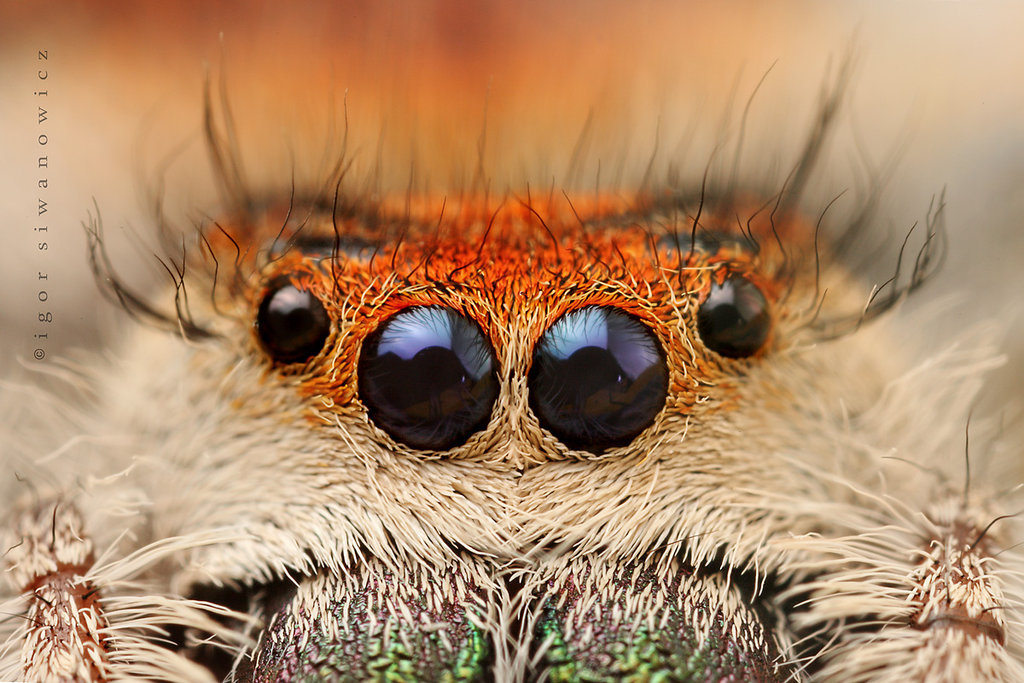 lovewildlife:  the loOOok by *BlepharopsisJumping spider Phidippus regis   Wow! I love jumping spiders!